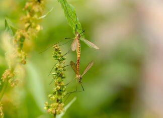 czego nie lubią komary